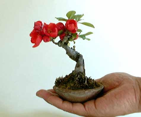 Bonsai Quince2,10cm