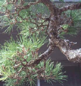 a well ramified pine
