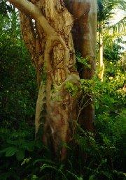 A Strangler Fig